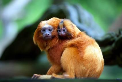 mico-leão dourado